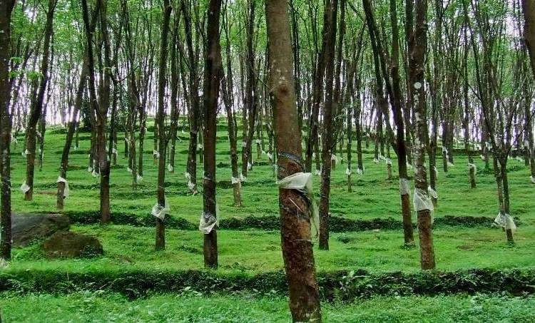 rubber, tree, plantation