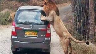 Lion, lion attacks, safari, bannerghatta national park, Bengaluru