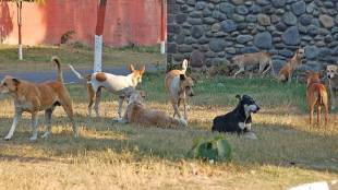 stray dogs, street dogs