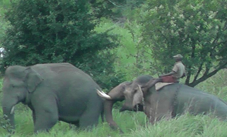 wild elephant, munnar, grossery,