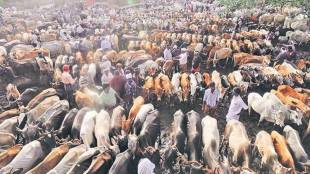 cattle slaughter, sale of cattle slaughter, cattle slaughter ban, cattle ban revoked, indian express, india news