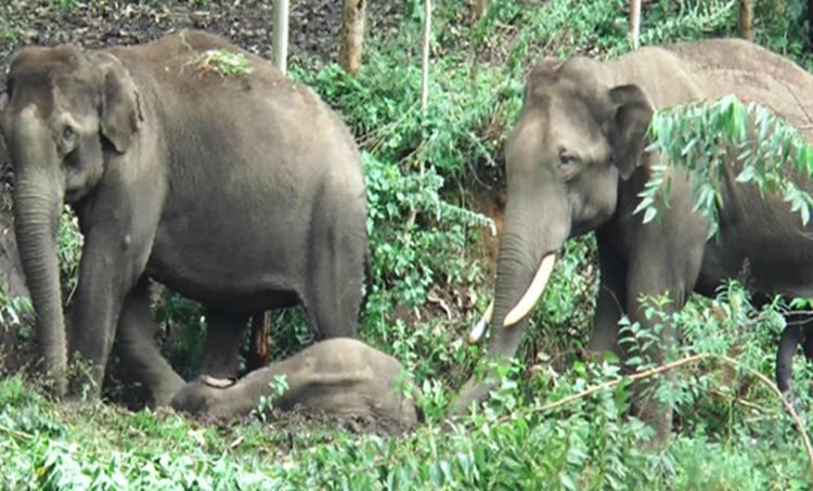 munnar, wild elephant, munnar wild elephant died, death of wild elephant, man animal conflict,