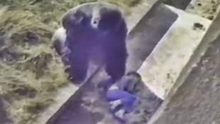 മൃഗങ്ങൾ, വന്യമൃഗങ്ങളുടെ വീഡിയോ, മൃഗങ്ങളുടെ സ്നേഹം, മൃഗശാല വീഡിയോ, gorilla, gorila videos, zoo videos, young boy falls into gorilla pit