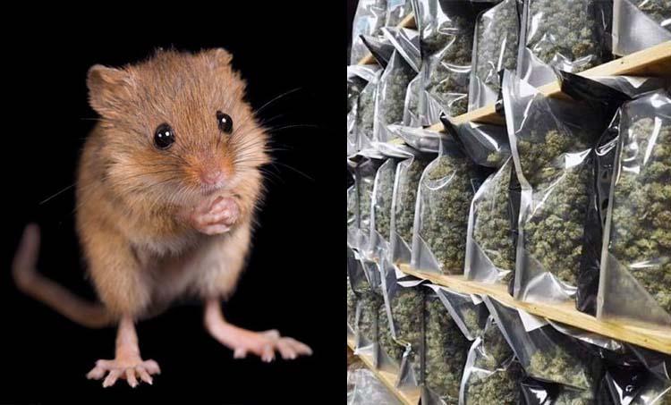 mice eats marijuana