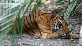 tiger spotted കടുവയെ കണ്ടെത്തി, national park in goa ഗോവയിലെ ദേശീയ പാര്ക്ക്, animal മൃഗങ്ങള് ie malayalam ഐഇ മലയാളം