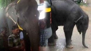 Captive Elephants in Kerala