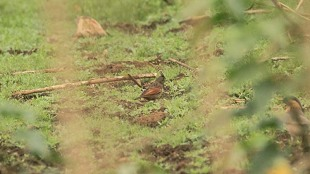 crested bunting , bird sighted in kerala
