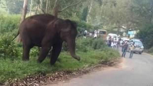 wild elephant in munnar mattupetty road