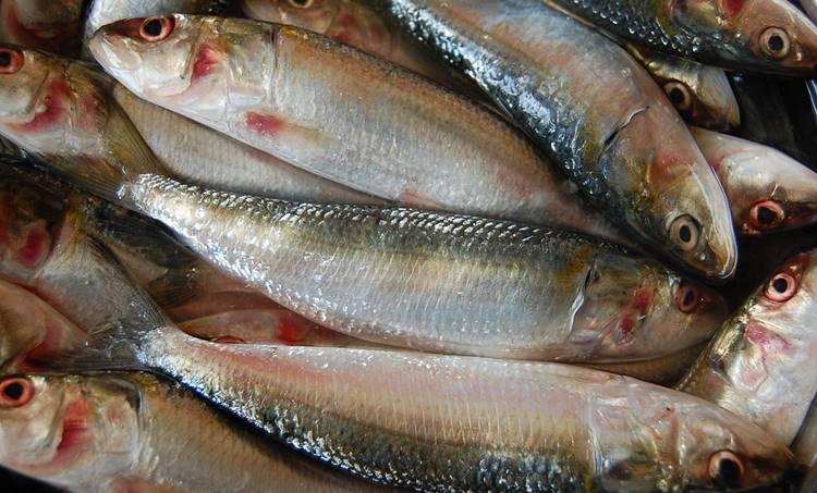 മത്തി, ചാള, കേരളത്തിന്റെ മത്സ്യസമ്പത്ത്, മത്സ്യ വിപണനം, Kerala Fish Market, Chala, Chala