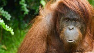 Orangutan, ഒറാങ്ങുട്ടാന്, india, ഇന്ത്യ, dead, ചത്തു, മൃഗം, animal, odisha, ഒഡീഷ,