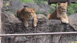 Lion, സിംഹം, Trolls, ട്രോളുകള്, zoo, മൃഗശാല, japan, ജപ്പാന്, social media, സോഷ്യല്മീഡിയ, viral video വൈറല് വീഡിയോ