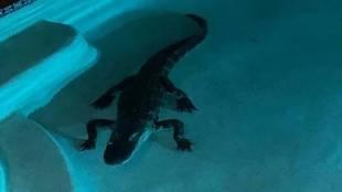 Alligator, ie malayalam