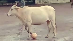 Football, ഫുട്ബോൾ, ഫുട്ബാൾ, Cow, പശു, Messi, മെസ്സി, മെസി, twitter, ട്വിറ്റർ, viral video, video, വൈറൽ വീഡിയോ, viral, iemalayalam, ഐഇ മലയാളം
