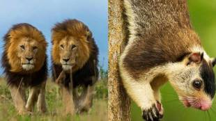 kerala, കേരളം, Gujarat, ഗുജറാത്ത്, safari park, സഫാരി പാര്ക്ക്, neyyar, നെയ്യാര്, lion, സിംഹം