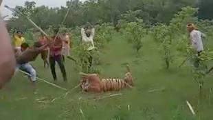 tiger, uttar pradesh, ie malayalam