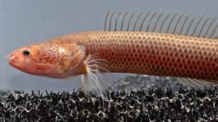 new fish, പുതിയ മത്സ്യം, thiruvalla, തിരുവല്ല, new varal, പുതിയ വരാല്, varal fish, ie malayalam,
