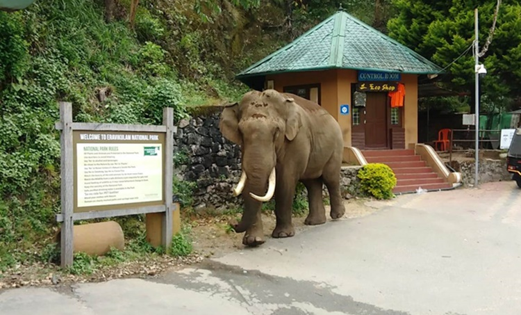 Padayappa, പടയപ്പ, Wild elephant, കാട്ടാന, Tusker, കൊമ്പന്, Munnar, മൂന്നാർ, Eravikulam National park, ഇരവികുളം നാഷണല് പാര്ക്ക്, Rajamala, Rajamalai, രാജമല, IE Malayalam, ഐഇ മലയാളം