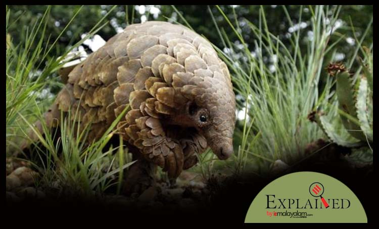 Pangolins, ഈനാംപേച്ചികൾ, Pangolins source of coronavirus, കൊറോണ വൈറസിന്റെ ഉറവിടം ഈനാംപേച്ചികൾ, coronavirus latest updates, why are Pangolins eaten, chinese eat Pangolins, indian express, express explained, iemalayalam, ഐഇ മലയാളം
