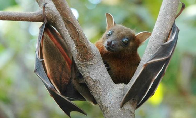 bat, coronavirus, iemalayalam