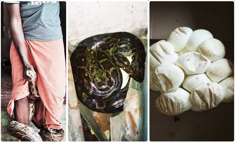lockdown, ലോക്ക്ഡൗൺ, snake, പാമ്പ്, python, പെരുമ്പാമ്പ്, payyannur, പയ്യന്നൂർ, kannur, കണ്ണൂർ, jwellery, ജ്വല്ലറി, ie malayalam, ഐഇ മലയാളം