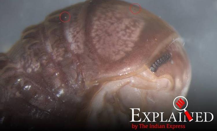 troglomyces twitteri, mycokeys, mycokeys journal, north american millipede, cambala annulata, express explained