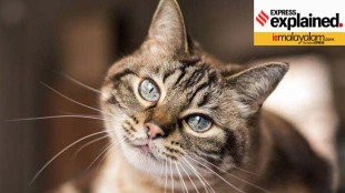 covid-19 vaccine, കോവിഡ്-19 വാക്സിന്, cat coronavirus, can cats get covid 19, പൂച്ചകള്ക്ക് കൊവിഡ്-19 ബാധിക്കുമോ, coronavirus cat drug, പൂച്ചകള്ക്കുള്ള കൊറോണ വൈറസ് മരുന്ന് മനുഷ്യരില് പരീക്ഷിക്കുന്നു, cats coronavirus human trials, sarscov2 research, കൊറോണവൈറസ് മരുന്ന് പരീക്ഷണം,iemalayalam