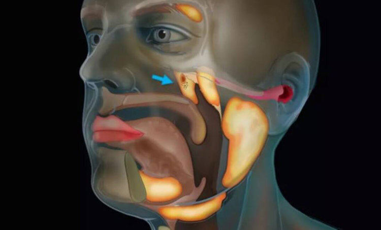 new organ discovered, new organ in human throat, human throat new organ, organs in human body, new organ cancer treatment, ie malayalam