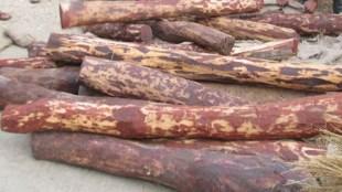 Sandalwood seized, വൻ ചന്ദന വേട്ട, Sandalwood seized from Kasargode, കാസർഗോഡ് വൻ ചന്ദന വേട്ട, iemalayalam