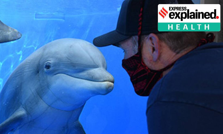 covid 19, covid 19 studies, covid 19 dolphins, whales coronavirus, coronavirus vaccine, coronavirus covid 19 news, indian express explained