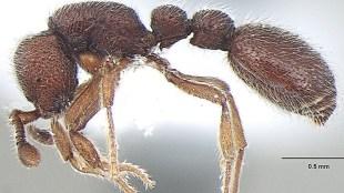 ant, ഉറുമ്പ്, rare ant, അപൂർവ ഇനം ഉറുമ്പ്, rare ant genus, അപൂർവ ജനുസിൽപെട്ട ഉറുമ്പ് ഇനം,two new species of a rare ant genus discovered, അപൂർവ ജനുസിൽപെട്ട രണ്ട് ഉറുമ്പ് ഇനങ്ങളെ കണ്ടെത്തി, thekkady, തേക്കടി, periyar tiger reserve, പെരിയാര് കടുവ സങ്കേതം, periyar tiger reserve idukki, പെരിയാര് കടുവ സങ്കേതം ഇടുക്കി, periyar tiger reserve kerala, പെരിയാര് കടുവ സങ്കേതം കേരളം, professor amithab joshi, പ്രൊഫ. അമിതാഭ് ജോഷി, Ooceraea, ഊസറെ Ooceraea genus ants, ഊസറെ ജനുസിൽ പെട്ട ഉറുമ്പുകൾ, ooceraea joshii ant, ഊസറെ ജോഷി ഉറുമ്പ്, Ooceraea decamera ant, ഊസറെ ഡെകാമറ ഉറുമ്പ്, malayalam news, news malayalam, malayalam news, malayalam varthakal, മലയാളം വാര്ത്തകള്, today malayalam news, today news malayalam, todays malayalam news, malayalam today's news, ഇന്നത്തെ മലയാളം വാര്ത്തകള്, news in malayalam, വാര്ത്തകള് മലയാളത്തില്, kerala news headlines, കേരള വാര്ത്തകള്, latest news, പുതിയ വാര്ത്തകള്, katest malayalam news, പുതിയ മലയാളം വാര്ത്തകള്,indian express malayalam, ഇന്ത്യൻ എക്സ്പ്രസ് മലയാളം ie malayalam, ഐഇ മലയാളം