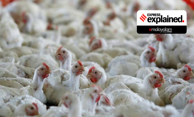 Bird flu, India bird flu, Culling birds, What is bird flu, Bird flu affected areas India, പക്ഷിപ്പനി,Indian Express, ie malayalam