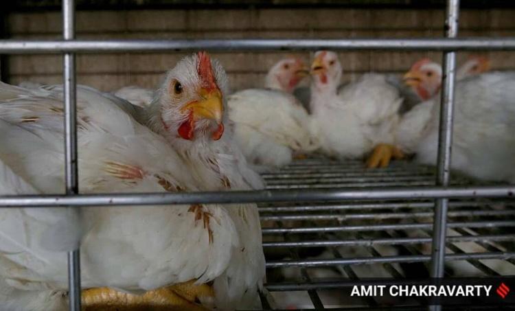 BIRD FLU, maharashtra, delhi, Chhattisgarh, bir flu sample testing, indian express, iemalayalam