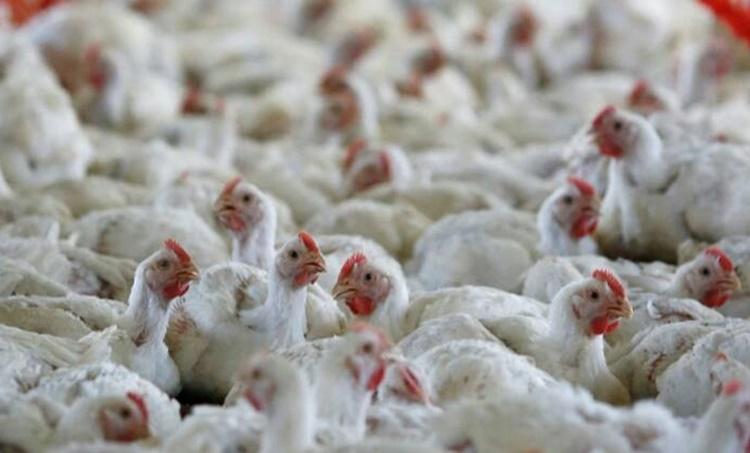 Bird flu, പക്ഷിപ്പനി, Bird flu confirms, minister k raju, മന്ത്രി കെ. രാജു, flu, പനി, kottayam, കോട്ടയം, alappuzha, ആലപ്പുഴ, iemalayalam, ഐഇ മലയാളം