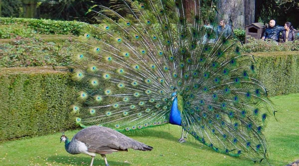 peahens , peacock