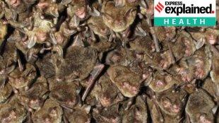 Coronavirus and bats, Covid bats, Covid origins, Covid bats China, Indian Express, കോവിഡ്, കൊറോണ, കൊറോണ വൈറസ്, ie malayalam