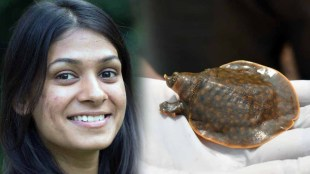 Bheeman Aama, Giant Softshell Turtle, Cantor's Giant Softshell Turtle, Ayushi Jain, Pala Poovan, ഭീമൻ ആമ, പയസ്വനി പുഴ, ചന്ദ്രഗിരി പുഴ, endangered turtle species, endangered species, Wildlife Institute of India, KFRI, ie Malayalam, ഐ ഇ മലയാളം