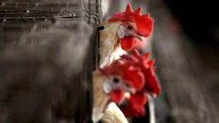 China, China bird flu, china bird flu humans, H10N3 bird flu strain, H10N3 bird flu strain china, china bird flu cases, china bird flu human transmission, china covid19, ie malayalam
