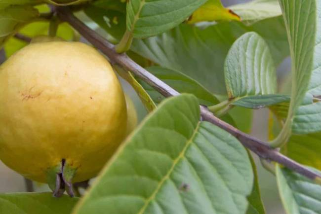 guava, food, ie malayalam