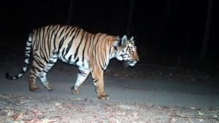Nilgir man-eater tiger, man-eater tiger india, nilgiris man-eater tiger, ie malayalam