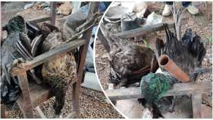 Peacocks killed in Thrissur, Two peacocks killed in Thrissur, Priest taken in to custody peacocks killing, Peacocks killed Priest arrest Thrissur, peacocks killing Thrissur priest, Thrissur priest arrest forest department, Thrissur priest arrest peacocks killing, kerala news, crime news, latest news, indian express malayalam, ie malayalam